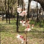 真間山のしだれ桜