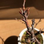 PUB夢の桜の苗木