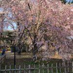 春爛漫 真間山(ままさん)のしだれ桜