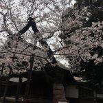 靖国神社の桜 標本木