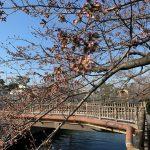 ゆらゆら桜のつぼみ