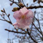 江戸川に咲く桜